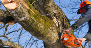 Picture of a tree worker trimming trees